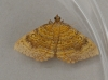 Yellow Shell  Camptogramma bilineata 2 Copyright: Graham Ekins