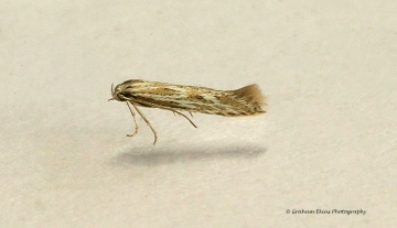 Ptocheuusa paupella Copyright: Graham Ekins