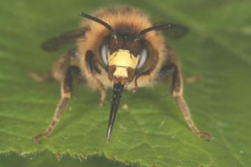 Anthophora furcata Copyright: Peter Harvey