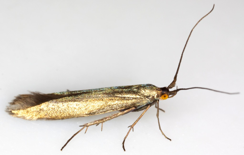 Coleophora fuscicornis Copyright: Chris Lewis