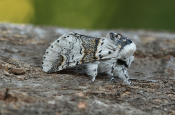 Sallow Kitten 2 Copyright: Graham Ekins