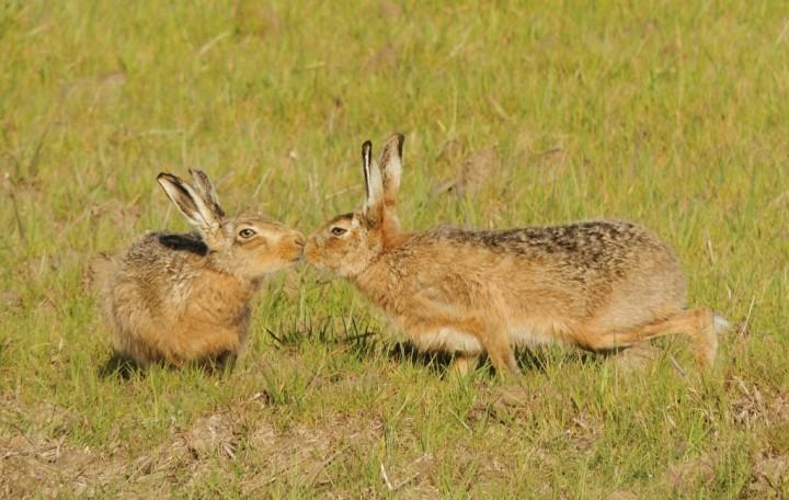 Brown Hares Copyright: John Dobson