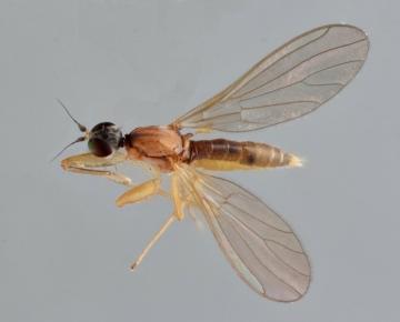 Phyllodromia melanocephala Copyright: Jeremy Richardson