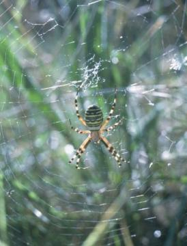 Argiope in web Copyright: Peter Harvey