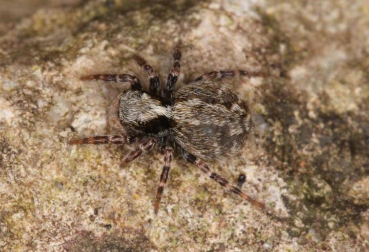 Pseudeuophrys lanigera female Copyright: Peter Harvey