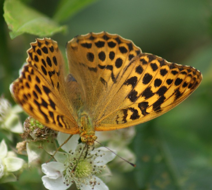 Silver-washed Fritillary (female) Copyright: Robert Smith