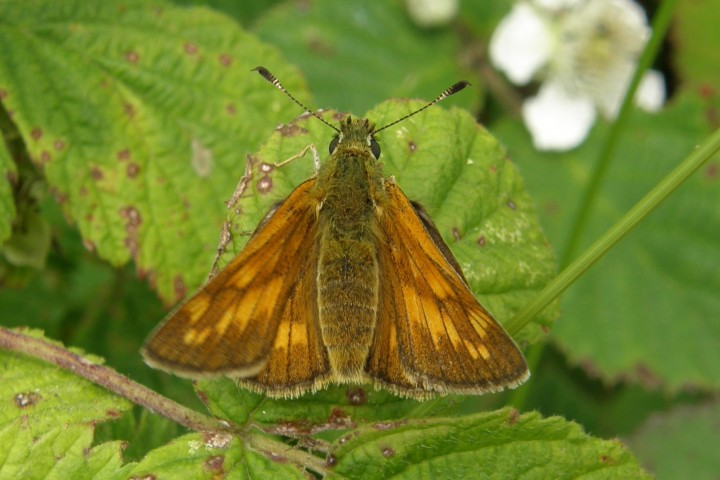 Large Skipper female Copyright: Sue Grayston