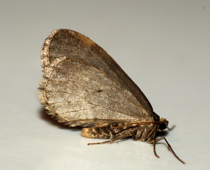 Winter Moth male Copyright: Ben Sale