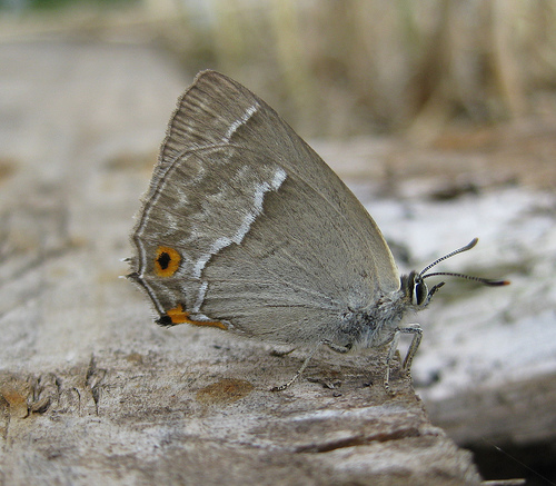 Purple Hairstreak 2 Copyright: Stephen Rolls