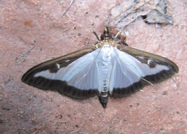 Boxworm Moth Copyright: Kathleen Black