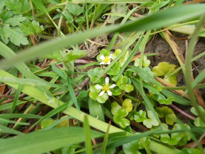 Ranunculus hederaceus Copyright: Chris Huggins
