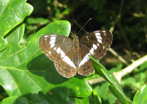 White Admiral. Copyright: Stephen Rolls