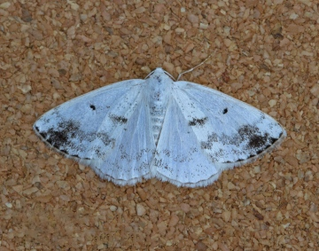 Lomographa temerata   Clouded Silver 2 Copyright: Graham Ekins