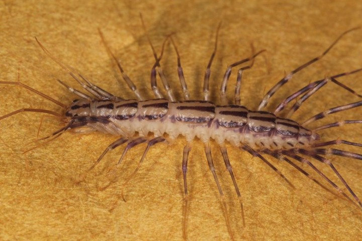 Scutigera coleoptrata Copyright: Peter Harvey
