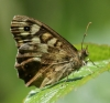 Speckled Wood (underside) Copyright: Robert Smith
