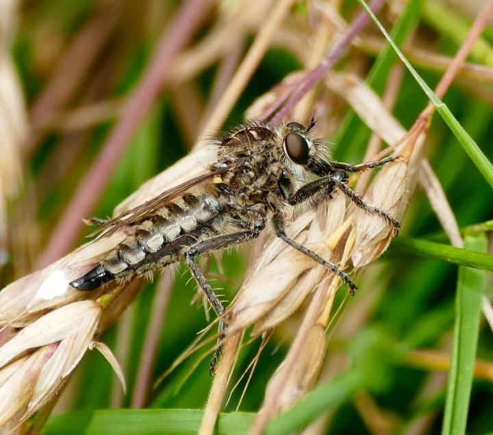 Dysmachus trigonus female Copyright: Rosemary Stevens