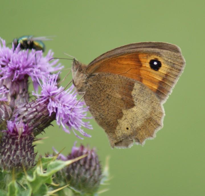 Meadow Brown (female underside) Copyright: Robert Smith