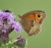 Meadow Brown (female underside) Copyright: Robert Smith
