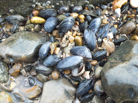 2 Common Mussel Mytilus edulis Copyright: Peter Pearson