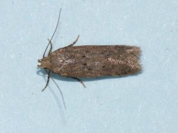 Scrobipalpa acuminatella.1 Copyright: Peter Furze