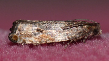 Gypsonoma dealbana Copyright: Peter Furze