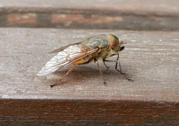 Hybomitra distinguenda 1. Copyright: Stephen Rolls