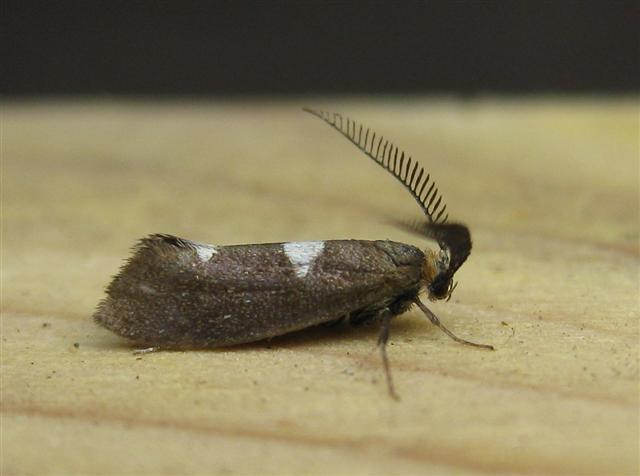 Incurvaria masculella. Copyright: Stephen Rolls