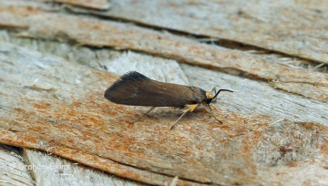 Crassa unitella Copyright: Graham Ekins