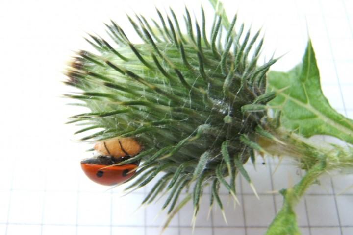 7-Spot Ladybird Copyright: Peter Pearson