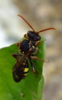 Nomada marshamella (Marshams Nomad Bee) Copyright: Peter Pearson