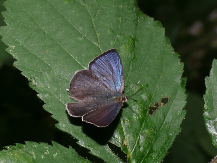 Purple Hairstreak Copyright: Peter Furze