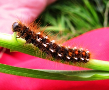 Brown-tailed Moth Caterpillar Copyright: Graham Smith