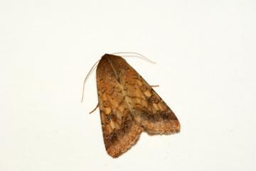 Scarce Bordered Straw Copyright: Ben Sale