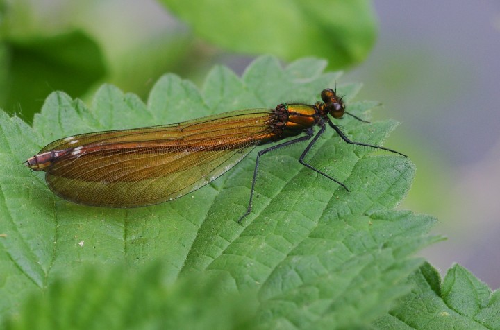 Calopteryx virgo female Copyright: James Northfield