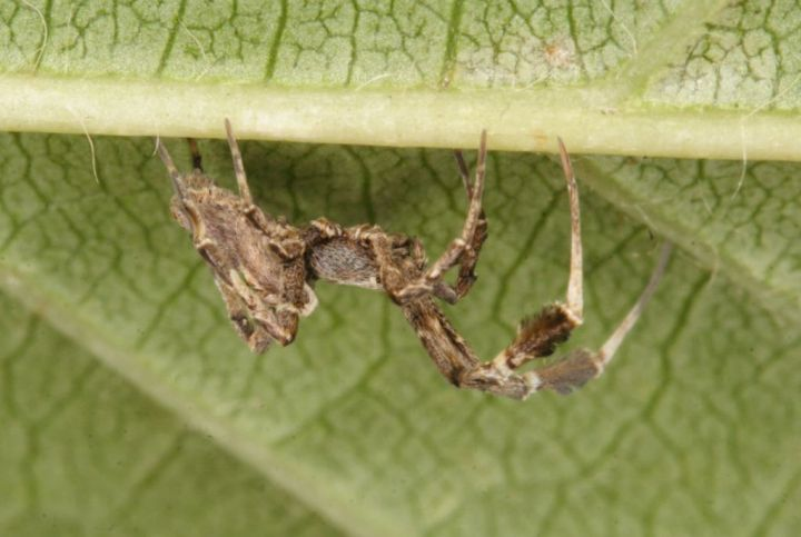 Uloborus plumipes on leaf Copyright: Peter Harvey
