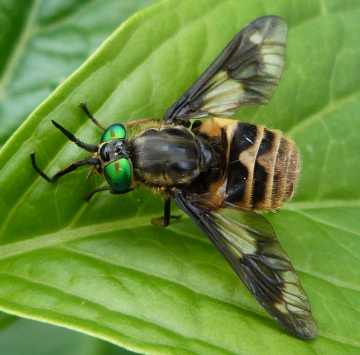Chrysops relictus Copyright: Andrew Thompson