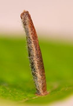 Coleophora hemerobiella larval case on apple. Copyright: Peter Furze