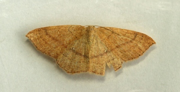 ClayTriple-lines  Cyclophora linearia Copyright: Graham Ekins
