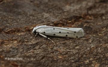Myelois circumvoluta 4 Copyright: Graham Ekins