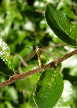 Spotted crane fly female Copyright: Sue Grayston