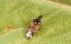 Anthocoris nemoralis (teneral) Copyright: Peter Harvey