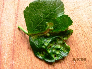Plant Gall on Alexanders Copyright: Graham Smith