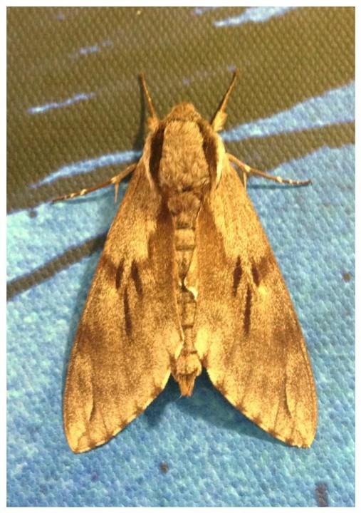 Pine Hawk Moth Copyright: Tara McGeary