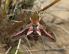 Spurge Hawk-moth  Hyles euphorbiae Copyright: Graham Ekins