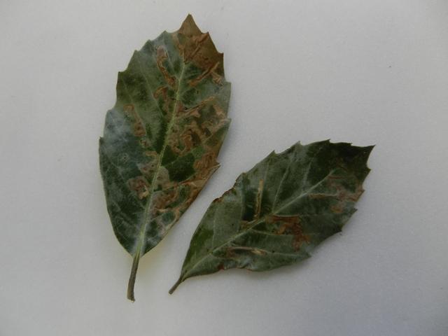 Ectoedemia heringella leaf mines Copyright: Roger Payne