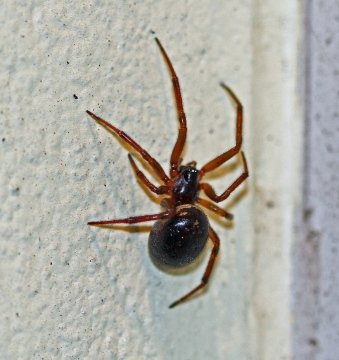 Steatoda nobilis 3 Copyright: Graham Ekins