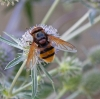 Volucella zonaria 6 Copyright: Graham Ekins