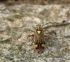 Rhabdomiris striatellus 2 Copyright: Graham Ekins