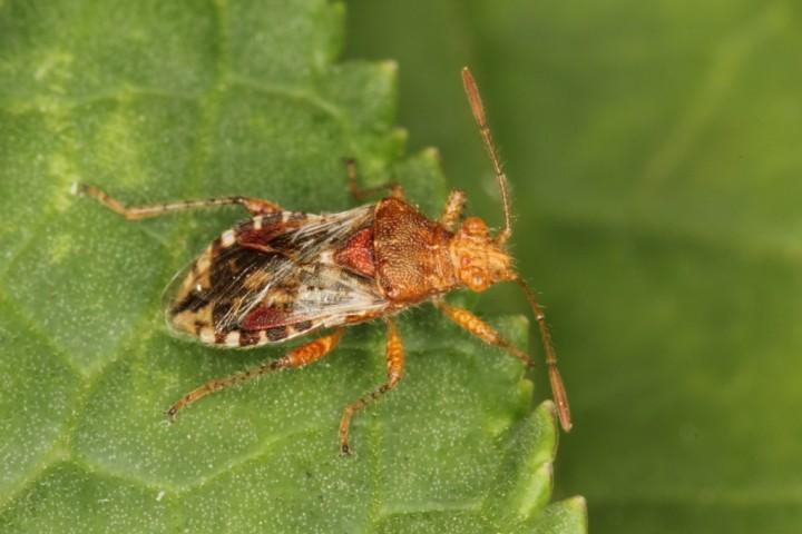 Rhopalus subrufus 2 Copyright: Peter Harvey