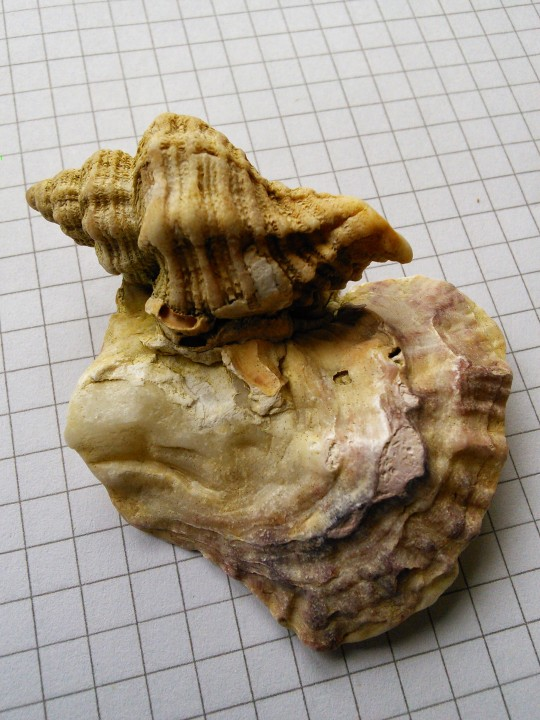 Sting Winkle  Ocenebra erinacea(2) Copyright: Peter Pearson